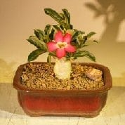 Flowering Desert Rose Bonsai Tree For Sale - Small (Adenium Obesum)