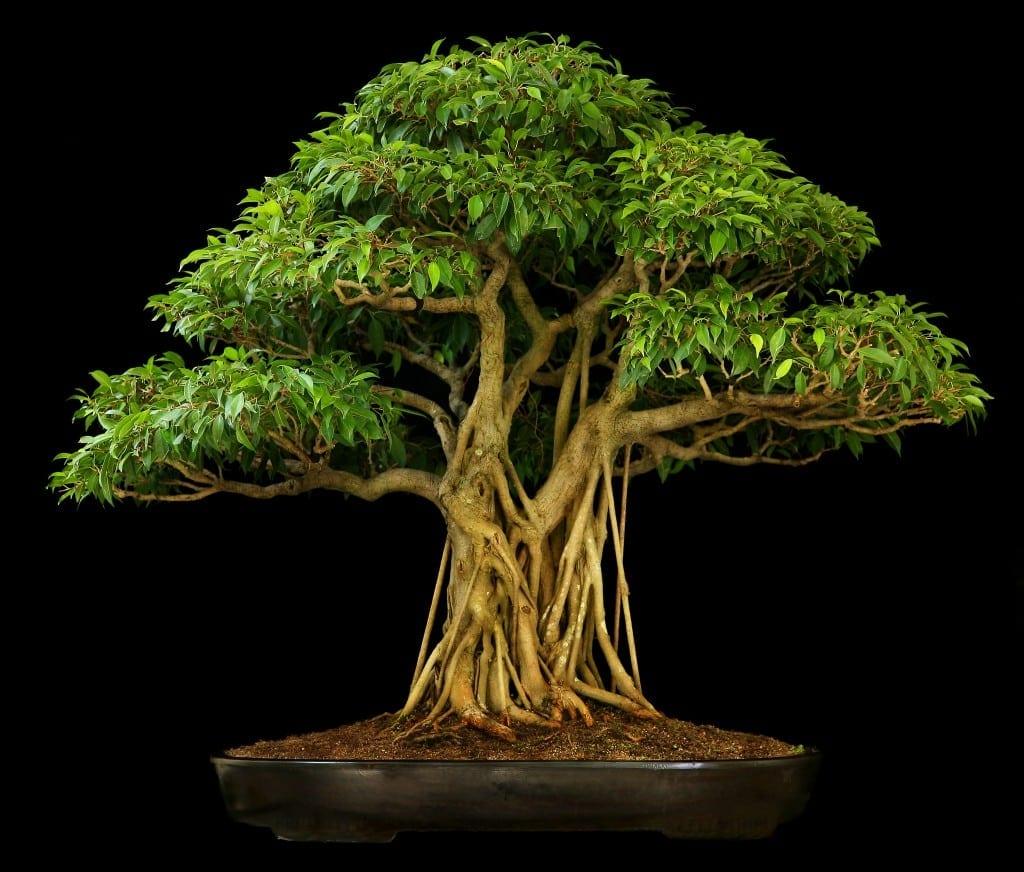 Ficus Bonsai Tree