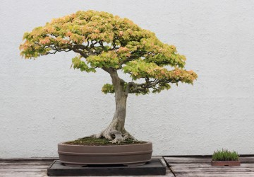 Finding The Best Trees For Bonsai