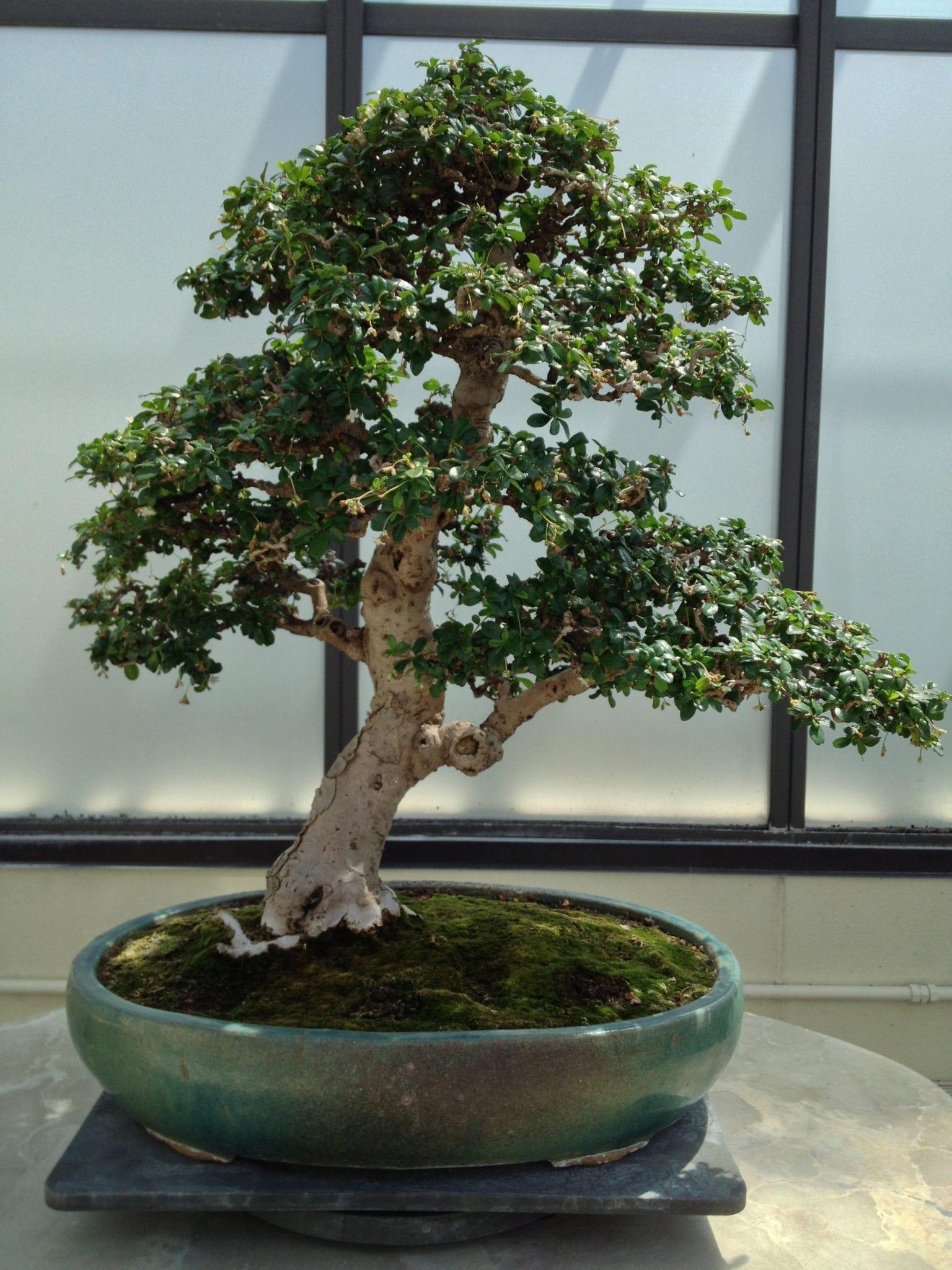 Fukien Tea Bonsai Trees Bonsai Tree Gardener