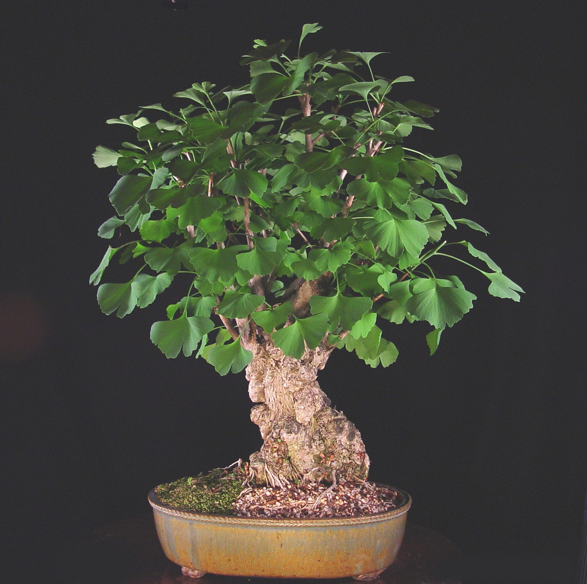 Ginkgo Bonsai Tree