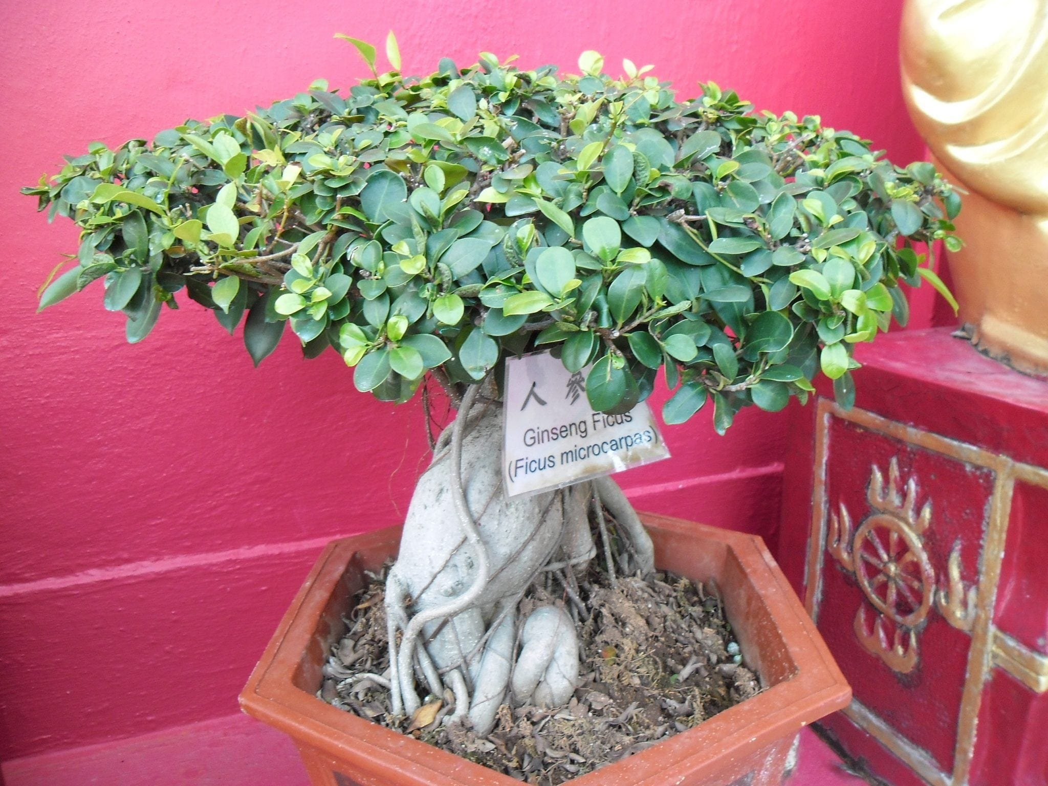 Ficus Ginseng Bonsai Tree Care Guide Ficus Retusa Bonsai Tree