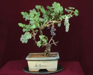 Grape Bonsai Tree