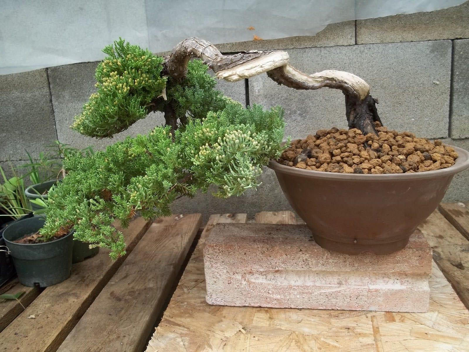 Green Mound Juniper Bonsai Trees | Bonsai Tree Gardener