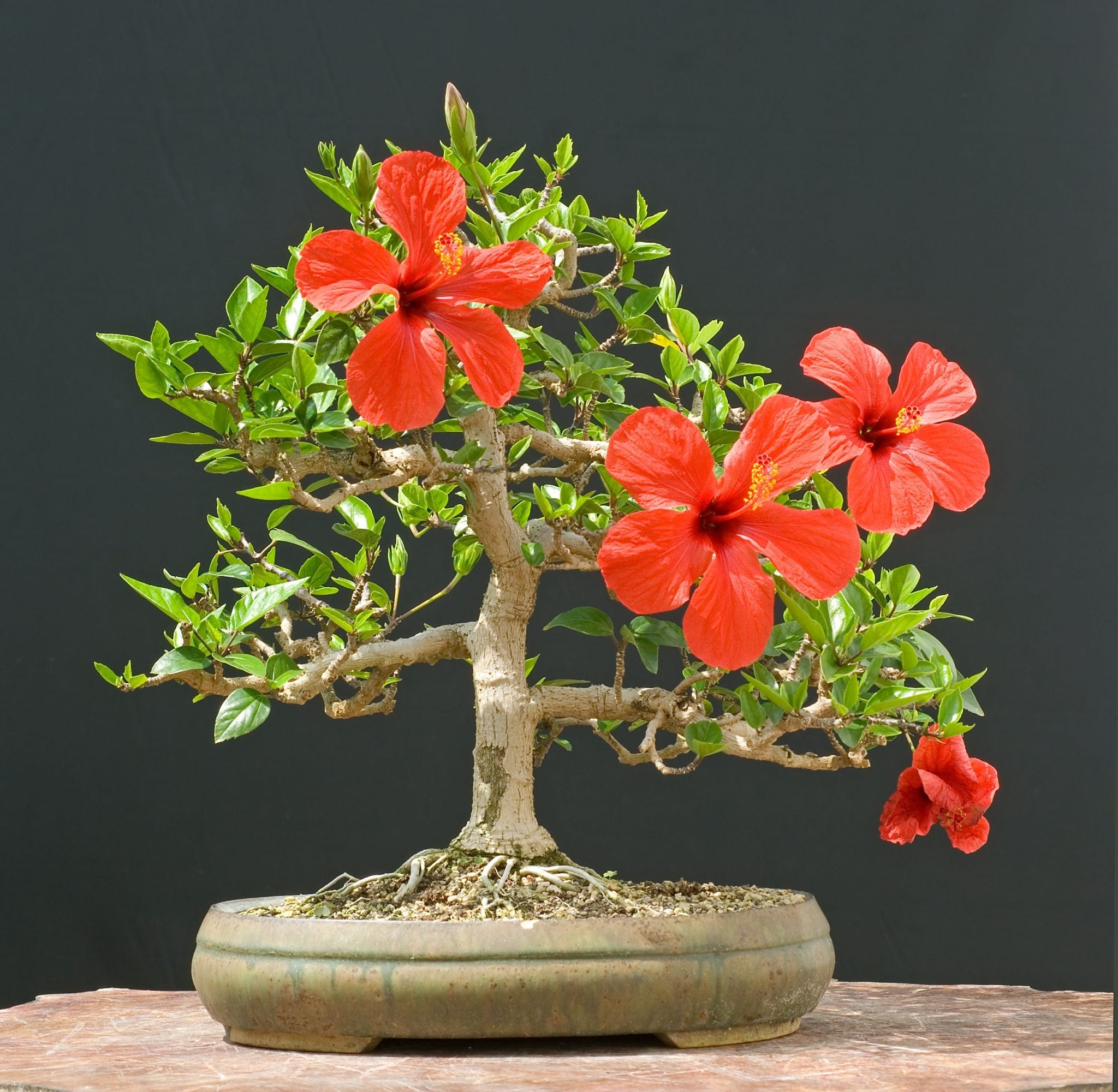 Hibiscus Bonsai Tree
