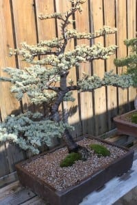 Himalayan Cedar Bonsai Tree