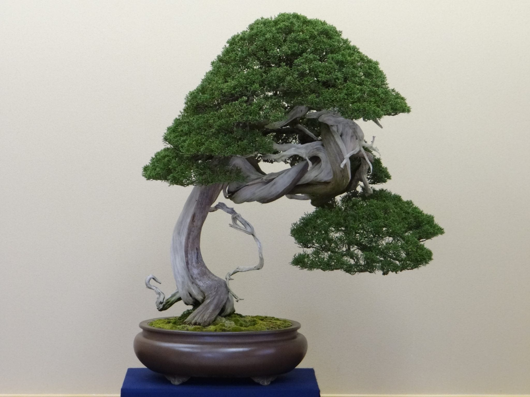 how to identify bonsai trees bonsai tree