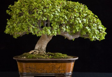 How To Make A Bonsai Tree