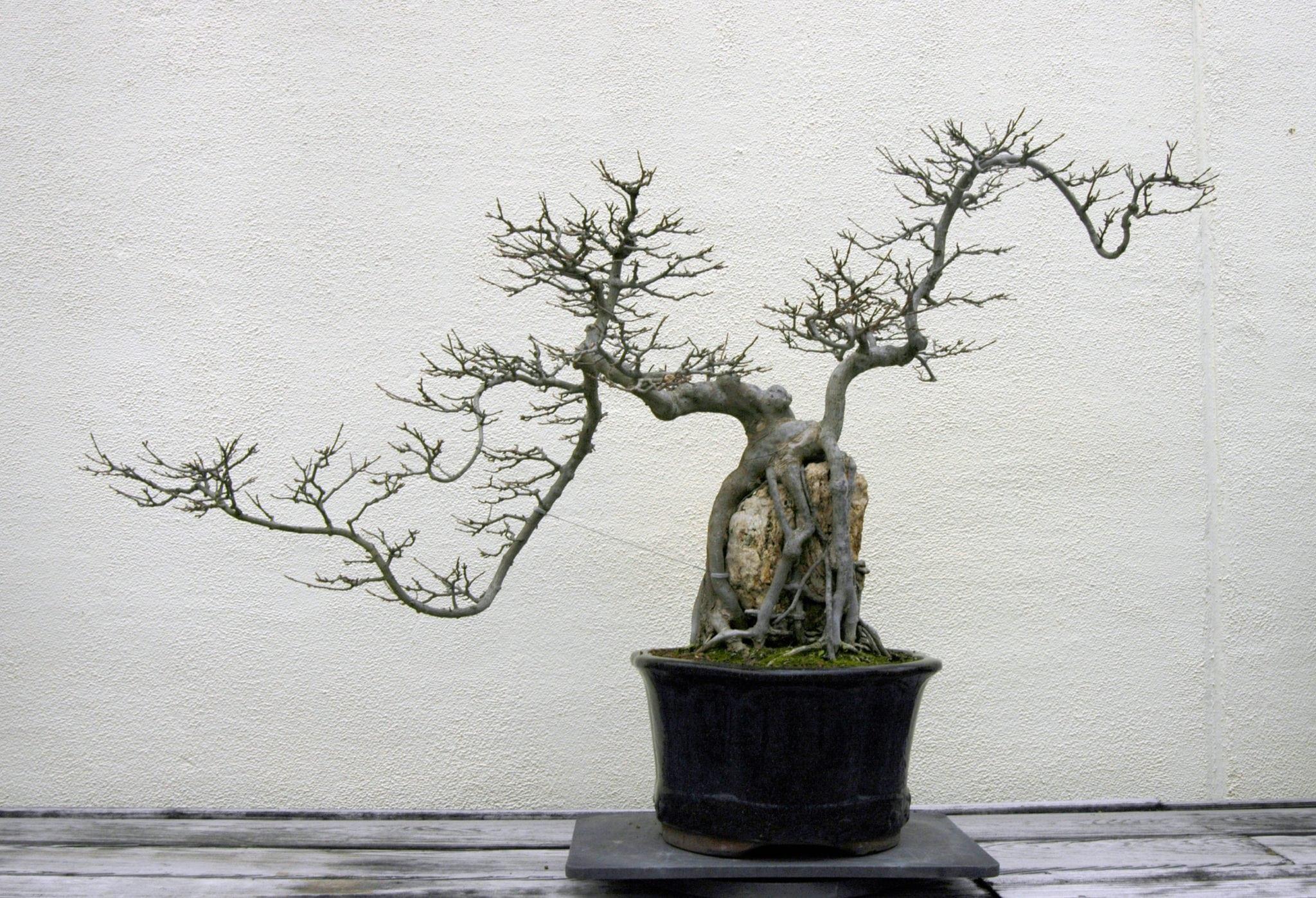 Awe Inspiring How To Rescue A Dying Bonsai Tree Bonsai Tree Gardener Wiring Cloud Ratagdienstapotheekhoekschewaardnl