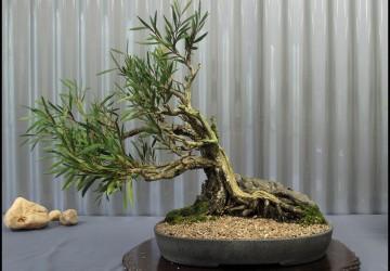 Indoor Bonsai Tree Care