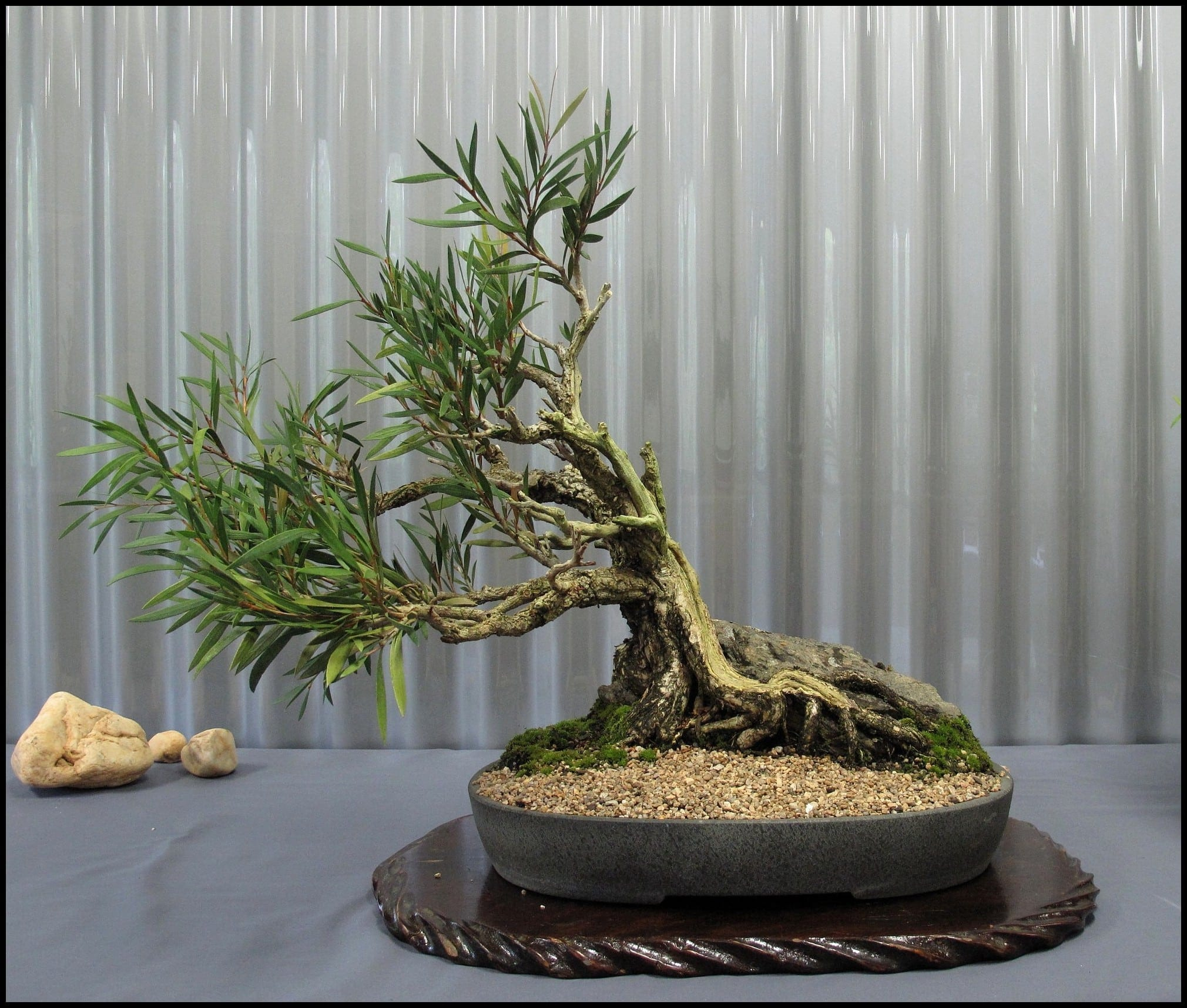 Indoor bonsai tree care bonsai tree gardener for Bonsai indoor
