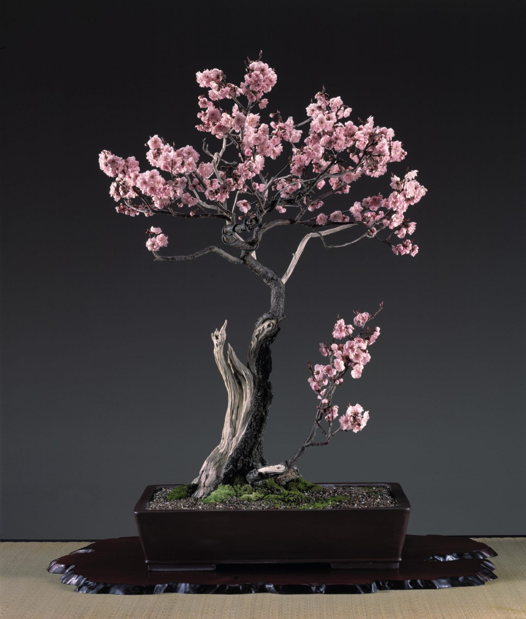indoor outdoor bonsai trees bonsai tree