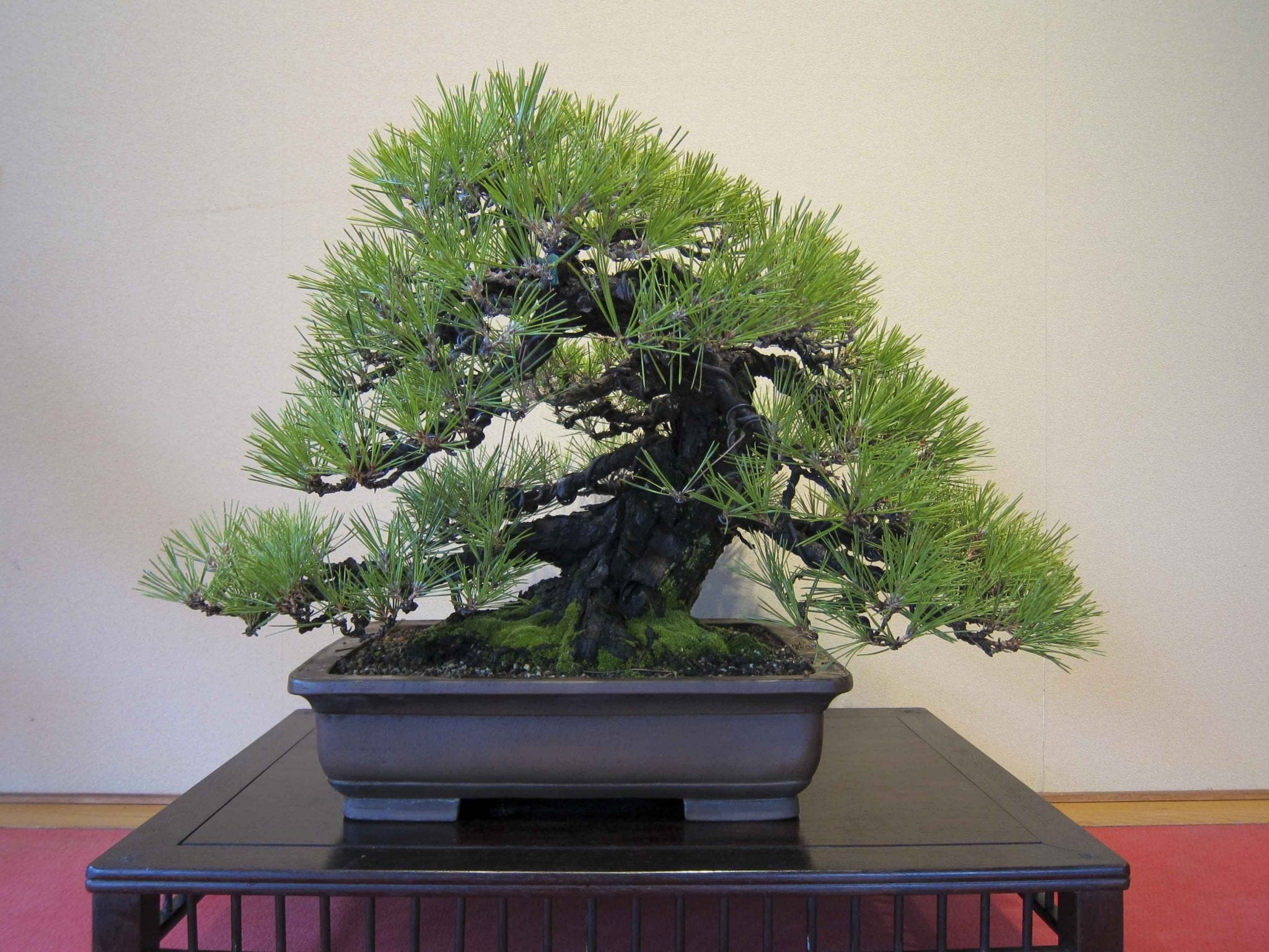 Anese Black Pine Bonsai Tree