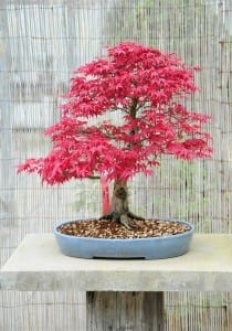 Japanese Maple Bonsai