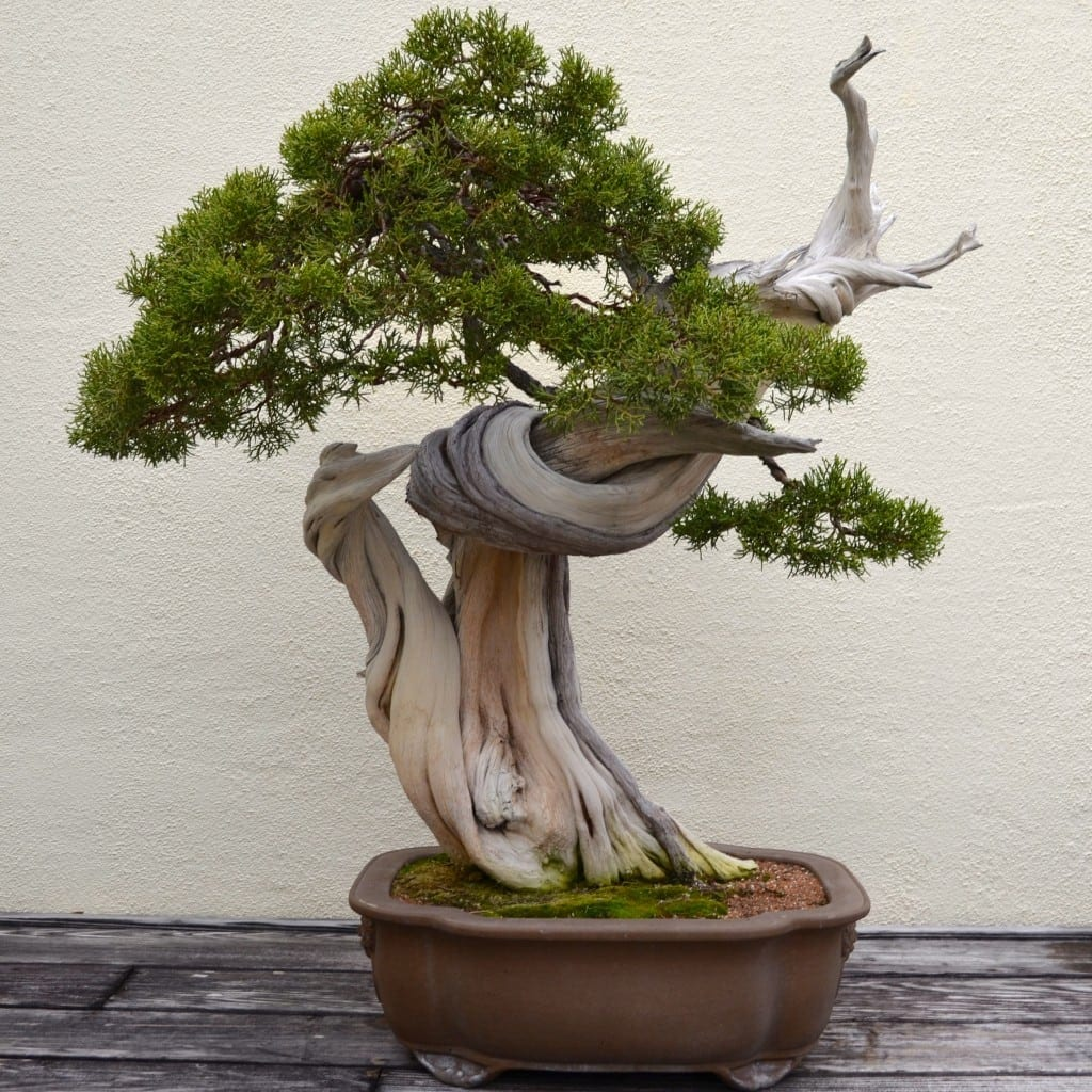 Juniper Bonsai Trees | Bonsai Tree Gardener