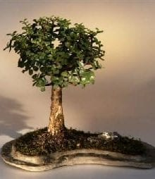 Baby Jade on Rock Slab Bonsai Tree For Sale (Portlacaria Afra)