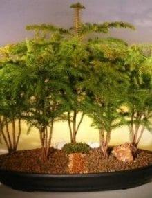 Norfolk Island Pine Bonsai Tree For Sale Forest Five Cluster Planting (araucaria heterophila)