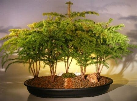Norfolk Island Pine Bonsai Tree For Sale Forest Five Cluster Planting (araucaria heterophila)