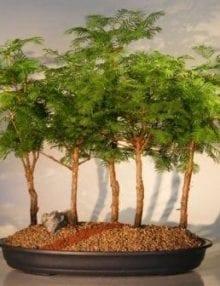 Redwood Bonsai Tree For Sale - 5 Tree Forest Group (metasequoia glyptostroboides)