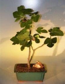 Brown Turkey Fig Bonsai Tree For Sale (ficus carica)