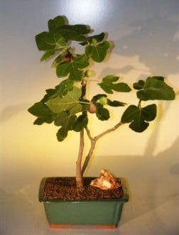 Brown Turkey Fig Bonsai Tree For Sale (ficus carica)