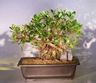 Green Emerald Ficus Bonsai Tree For Sale #1 (ficus microcarpa)