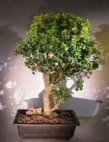 Baby Jade Bonsai Tree For Sale #3 (Portulacaria Afra)