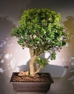 Baby Jade Bonsai Tree For Sale 3 Portulacaria Afra Bonsai Tree Gardener