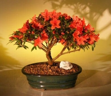 Flowering Red Azalea Bonsai Tree For Sale Hino Crimson Kurume Bonsai Tree Gardener