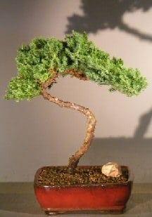 Juniper Bonsai Tree For Sale #32 - Trained (juniper procumbens nana)