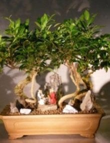 Oriental Ficus Bonsai Tree For Sale Stone Landscape Forest Group (ficus benjamina 'orientalis')