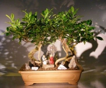 Oriental Ficus Bonsai Tree For Sale Stone Landscape Forest Group (ficus benjamina 'orientalis')