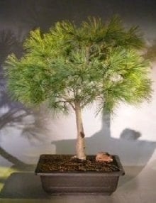 Dwarf Swiss Stone Pine Bonsai Tree For Sale (pinus cembra 'pygmaea')