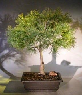 Dwarf Swiss Stone Pine Bonsai Tree For Sale Pinus Cembra Pygmaea Bonsai Tree Gardener