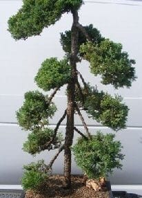 Juniper Bonsai Tree For Sale - Pom Pom Style (juniper procumbens nana)