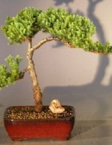 Juniper Bonsai Tree For Sale #2 - Trained (juniper procumbens nana)