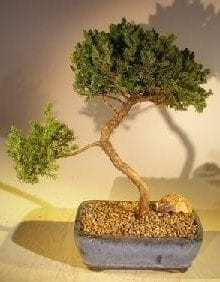 Juniper Bonsai Tree For Sale #36 - Trained (juniper procumbens nana)