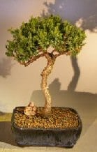 Juniper Bonsai Tree For Sale #1 - Trained (juniper procumbens nana)
