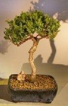 Juniper Bonsai Tree For Sale #1 - Trained (juniper procumbens nana)