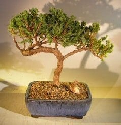 Juniper Bonsai Tree For Sale #37 - Trained (juniper procumbens nana)