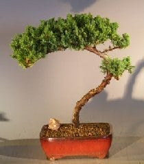 Juniper Bonsai Tree For Sale #17 - Trained (juniper procumbens nana)