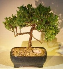 Juniper Bonsai Tree For Sale #56 - Trained (juniper procumbens nana)