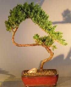 Juniper Bonsai Tree For Sale #3 - Trained (juniper procumbens nana)