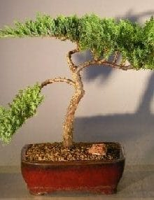 Juniper Bonsai Tree For Sale #5 - Trained (juniper procumbens nana)