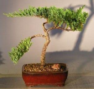 Juniper Bonsai Tree For Sale #5 - Trained (juniper procumbens nana)