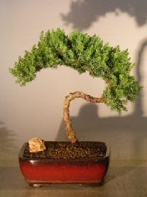 Juniper Bonsai Tree For Sale #26 - Trained (juniper procumbens nana)