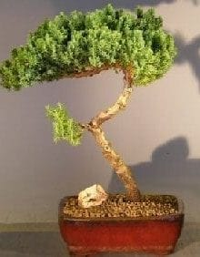 Juniper Bonsai Tree For Sale #6 - Trained (juniper procumbens nana)