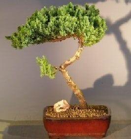 Juniper Bonsai Tree For Sale #6 - Trained (juniper procumbens nana)