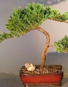 Juniper Bonsai Tree For Sale #7  - Trained (juniper procumbens nana)
