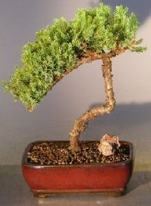 Juniper Bonsai Tree For Sale #8 - Trained (juniper procumbens nana)